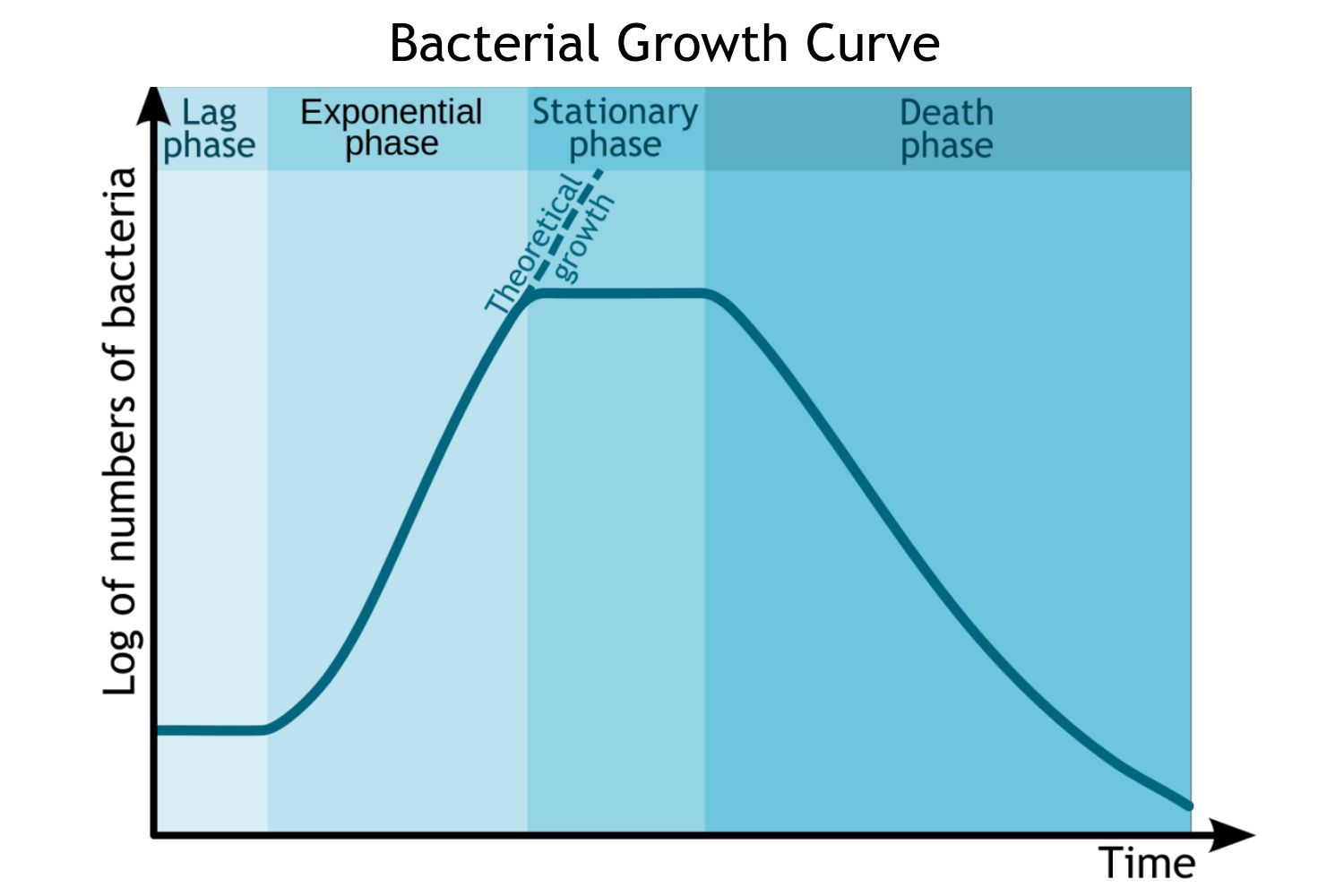 Phases Of The Bacterial Growth Curve