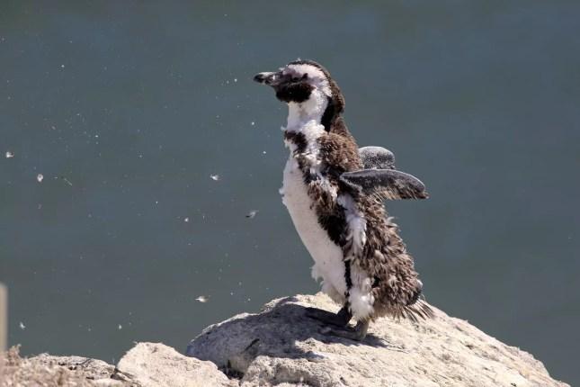 Pinguim muda.