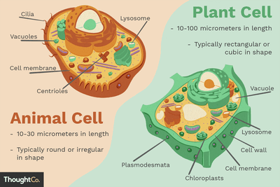 Animal Cells and the Membrane Bound Nucleus Discover The Key Differences Between Animal and Plant Cells