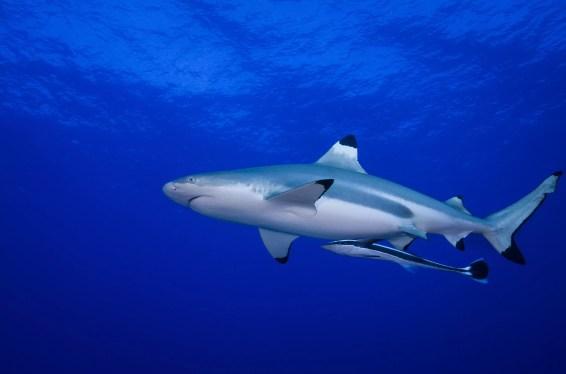 Blacktip Reef Shark em águas azuis médias com um grande peixe Remora anexado sua barriga
