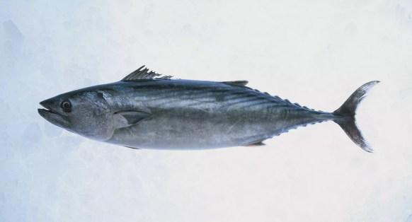 Atlantic Bonito (Sarda sarda), peixe fresco no gelo.