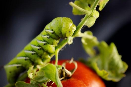 Hornworm.