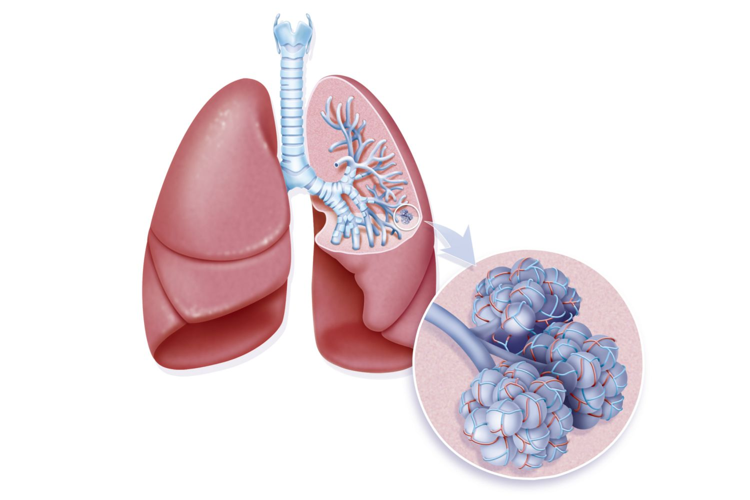 How To Make A Model Of The Lungs