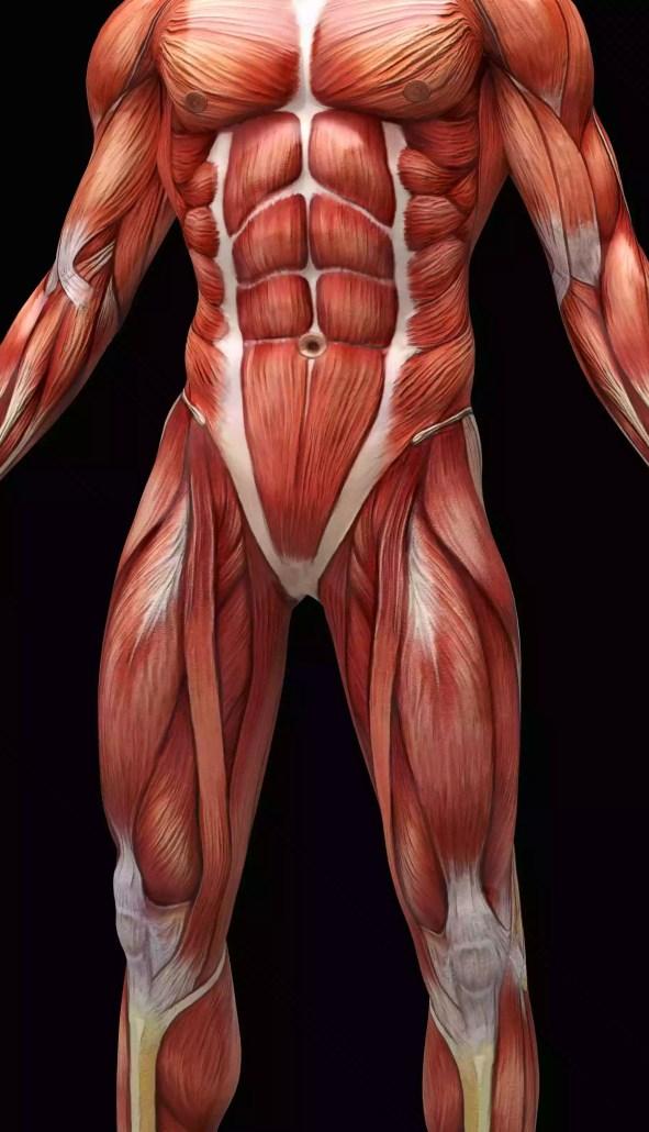 Ilustração digital dos músculos e tendões humanos.