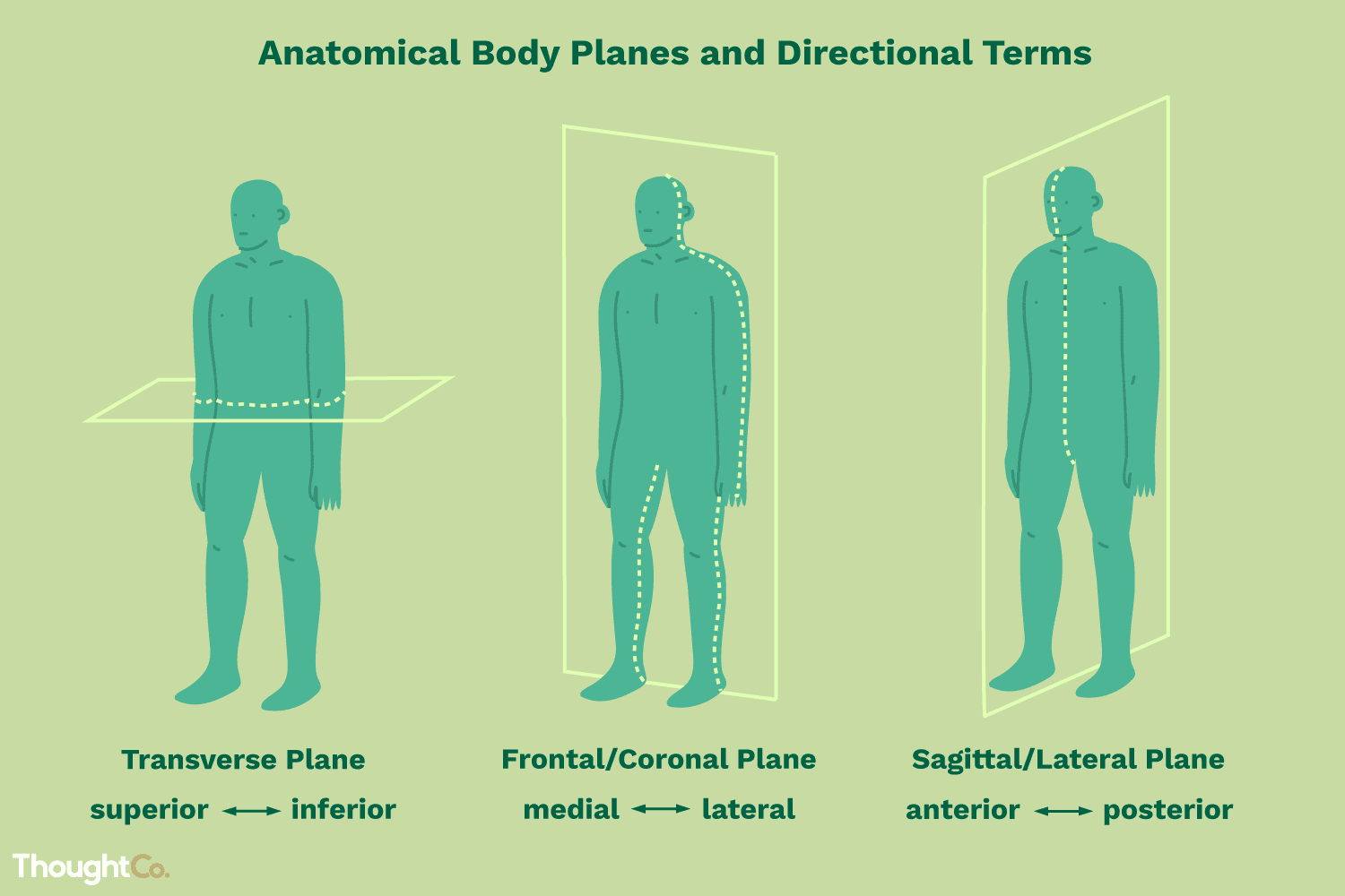 Anatomical Directional Terms And Body Planes