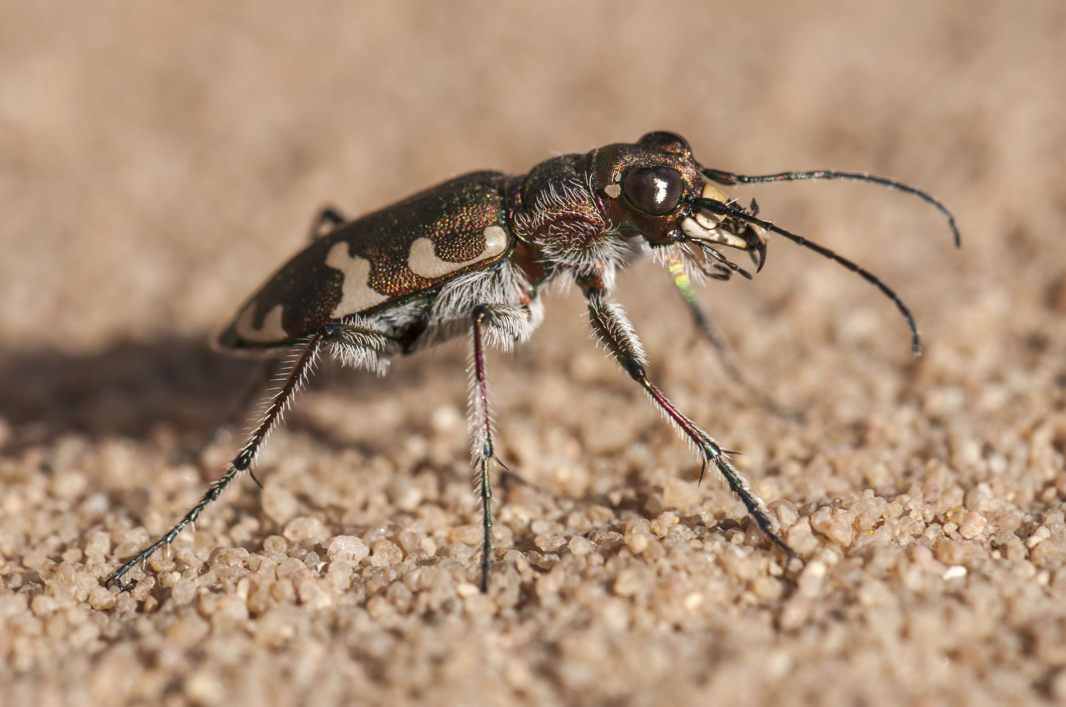 Tiger Beetles The Fastest Bugs On Six Legs