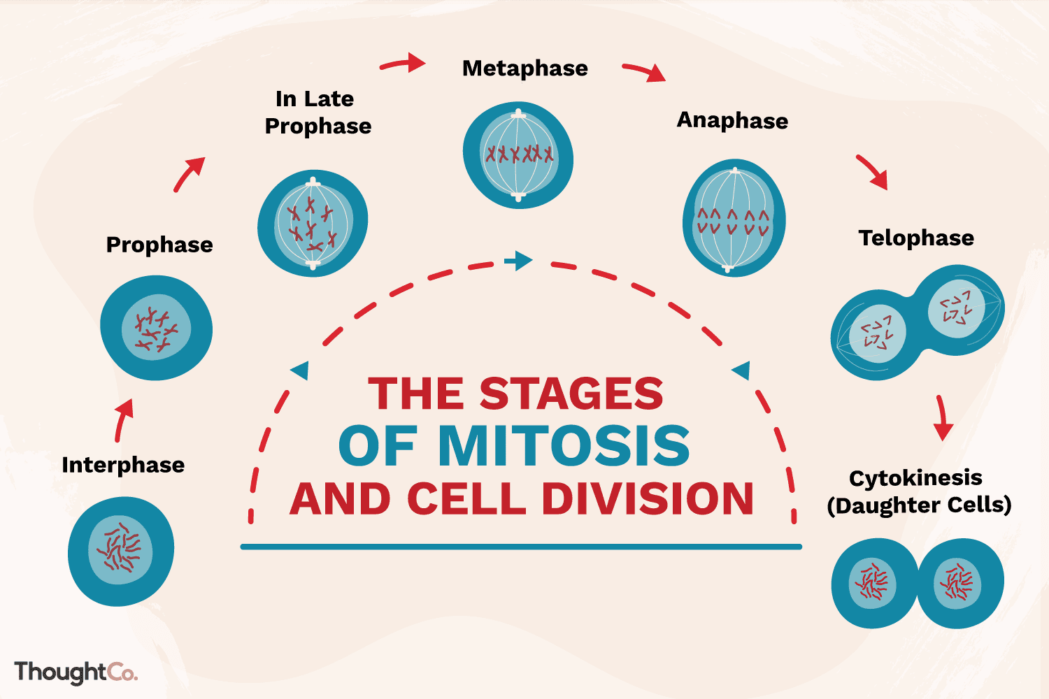 The Stages Of Mitosis And Cell Division