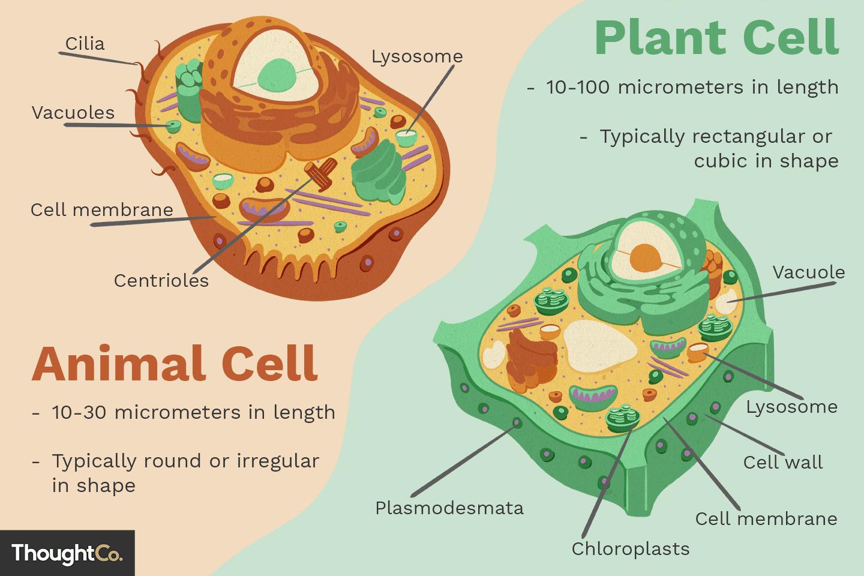 Forskelle Mellem Plante Og Dyreceller