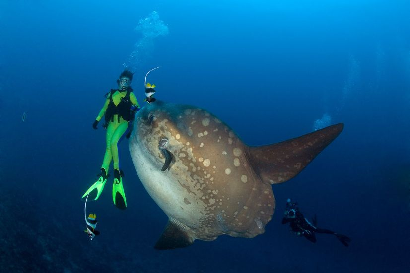 Facts about the Sunfish