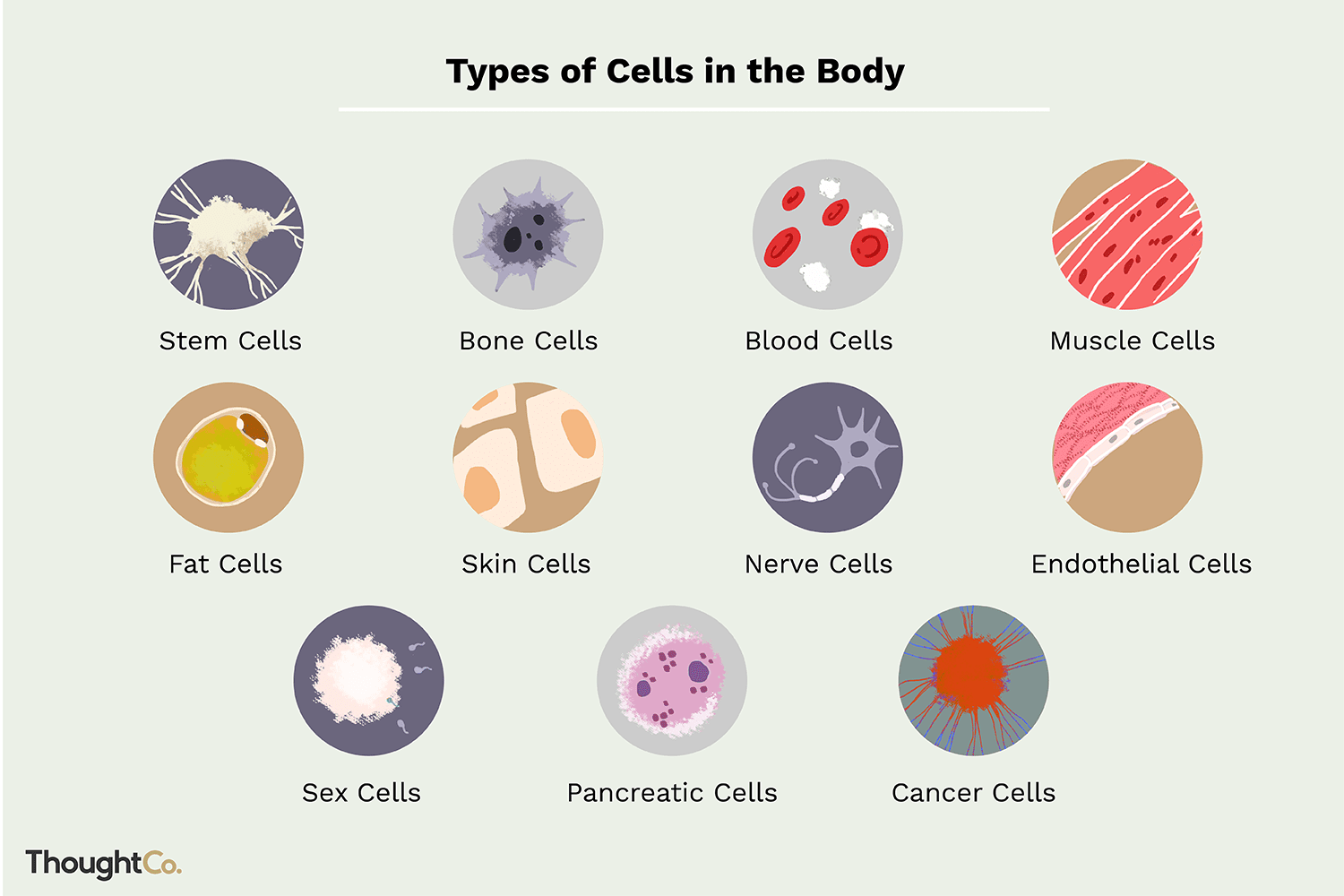 11 Different Types Of Cells In The Human Body