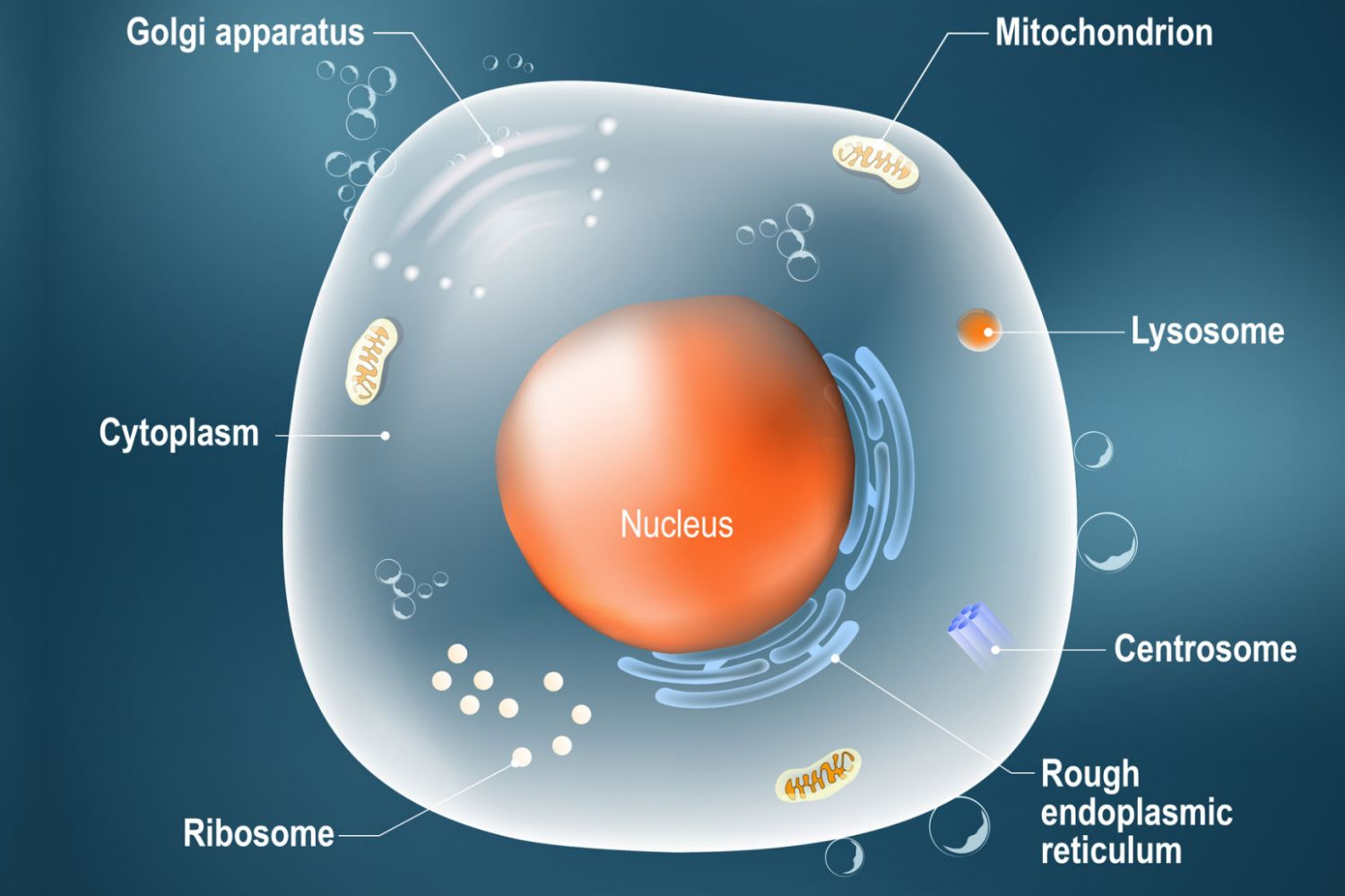 Animal Cells And The Membrane Bound Nucleus