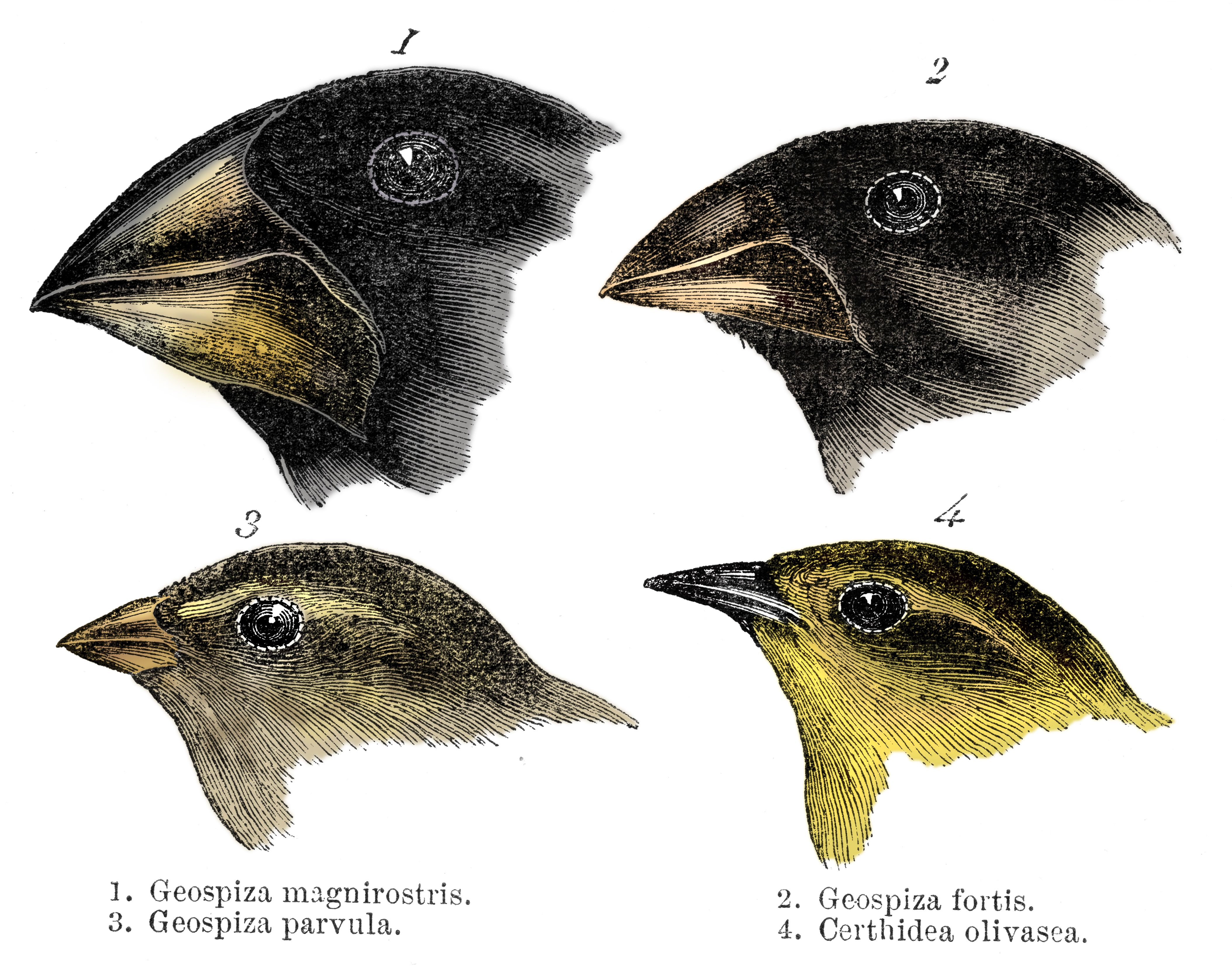 Charles Darwin S Finches And The Theory Of Evolution