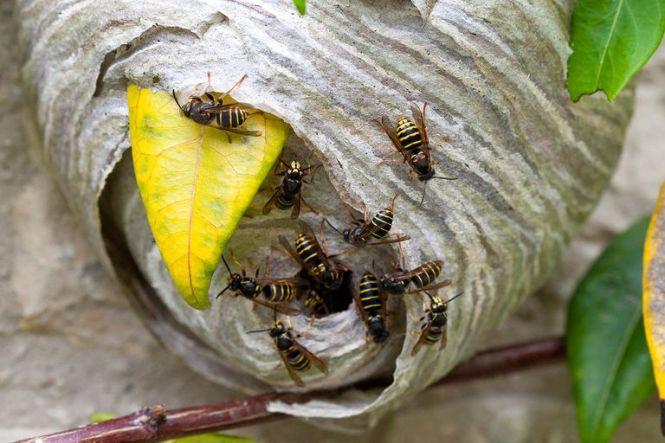 Cicada Killer Wasp Sphecius Speciosus Illustration By Patterson Clark