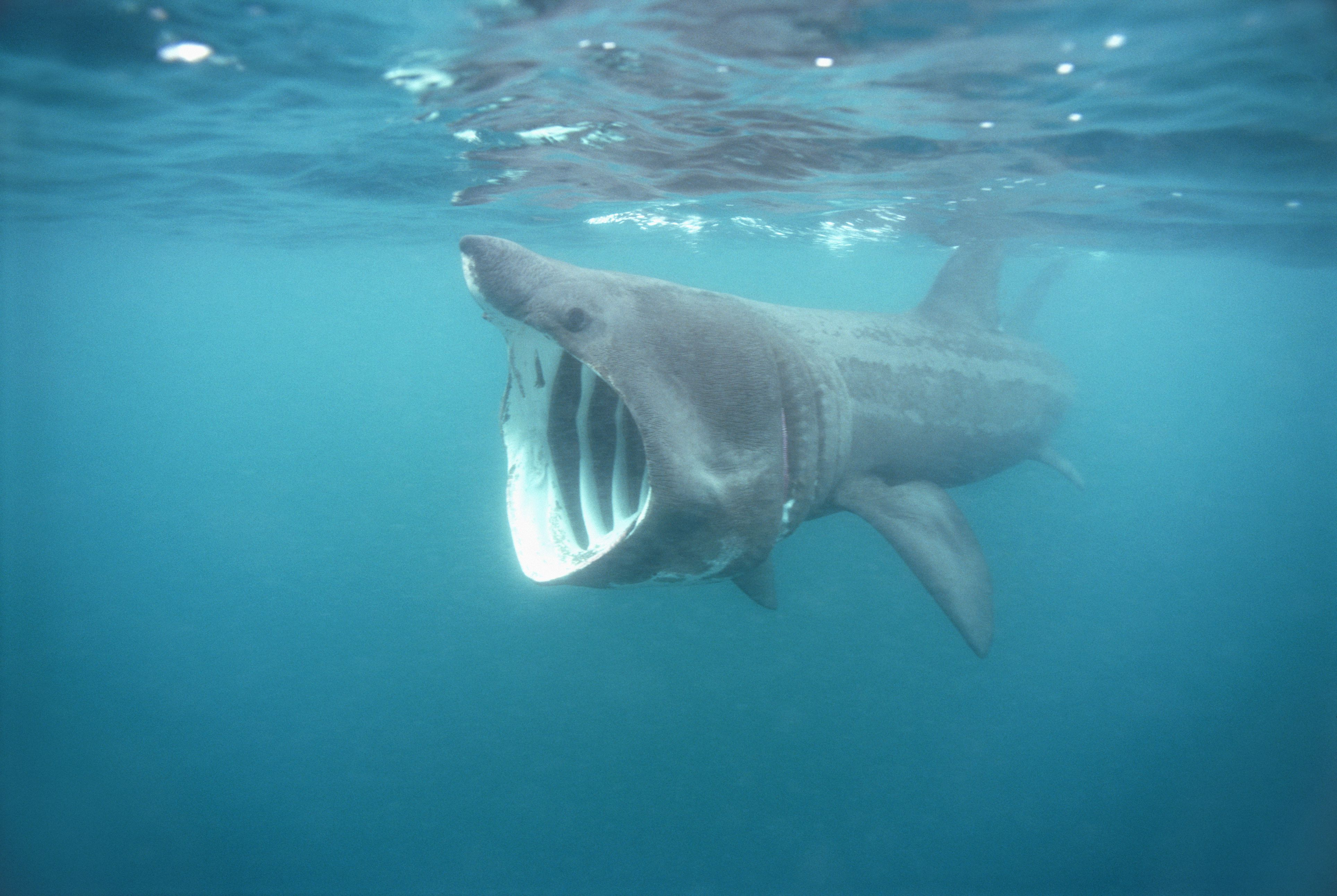 Basking Shark Facts Cetorhinus Maximus