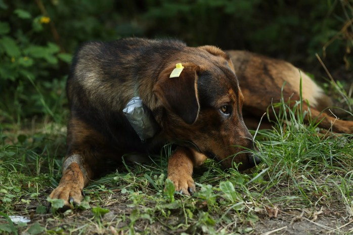 Some Chernobyl dogs are fitted with special collar to track them and measure radioactivity.