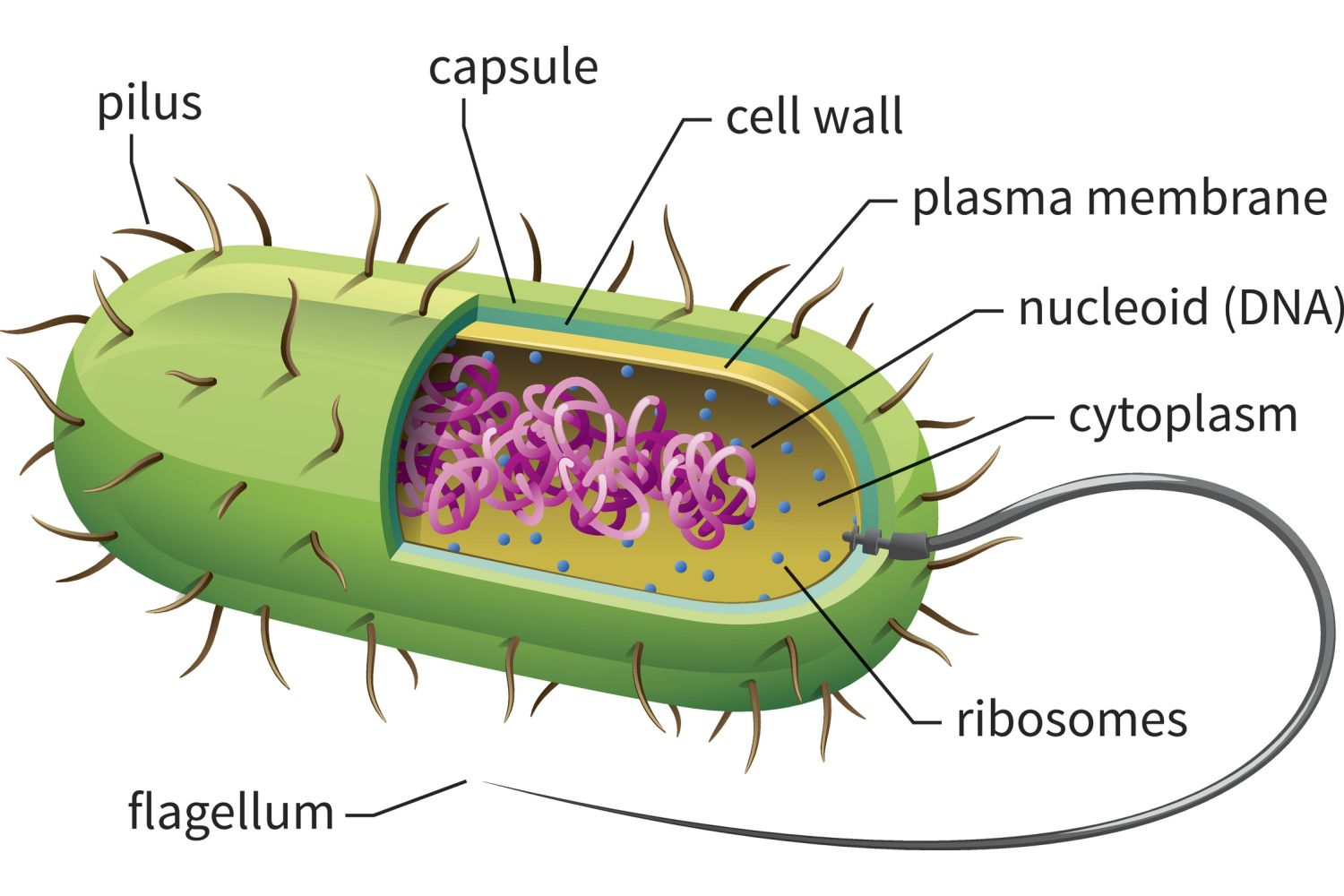 Prokaryotic Cells Structure Function And Definition