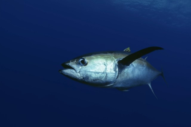 Yellowfin tuna serving side eye in dark blue