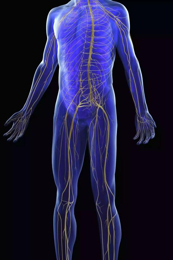 Ilustração 3D do sistema nervoso humano