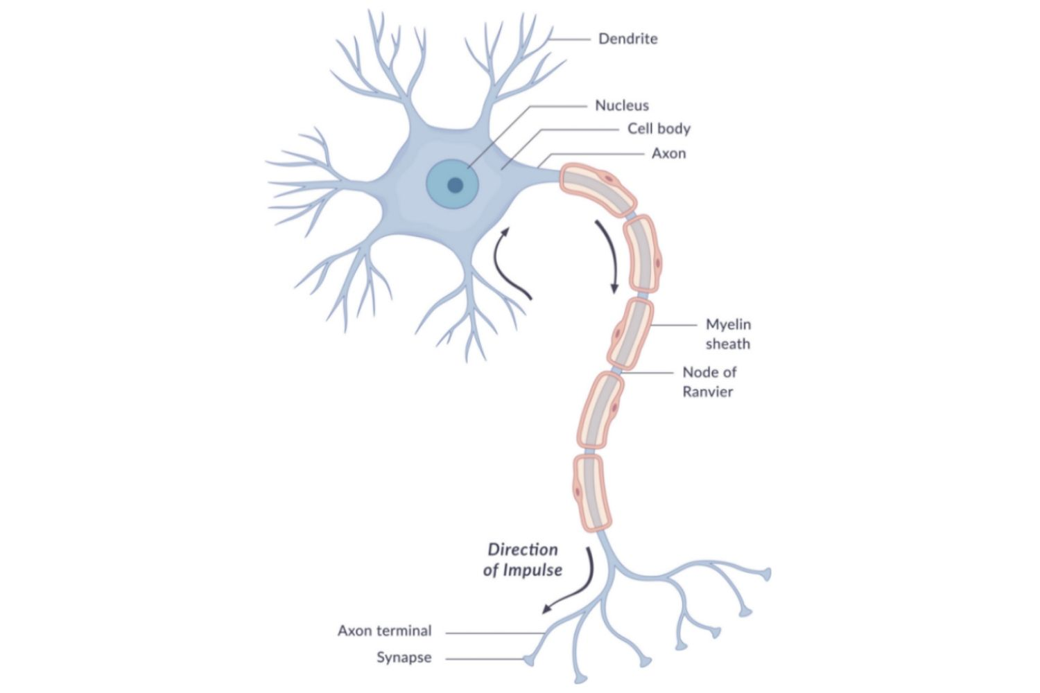 Neuron Anatomy Nerve Impulses And Classifications