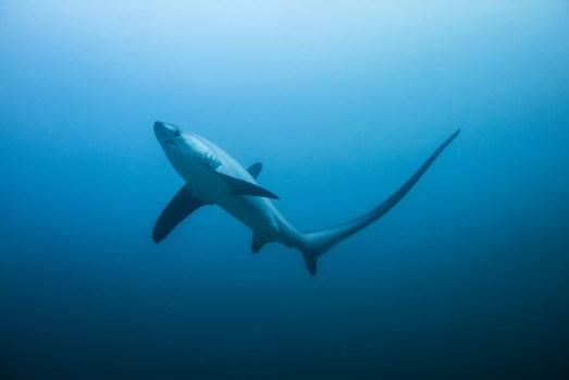 tubarão-debulhador