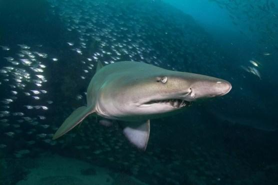 Um, tubarão enfermeira cinzenta