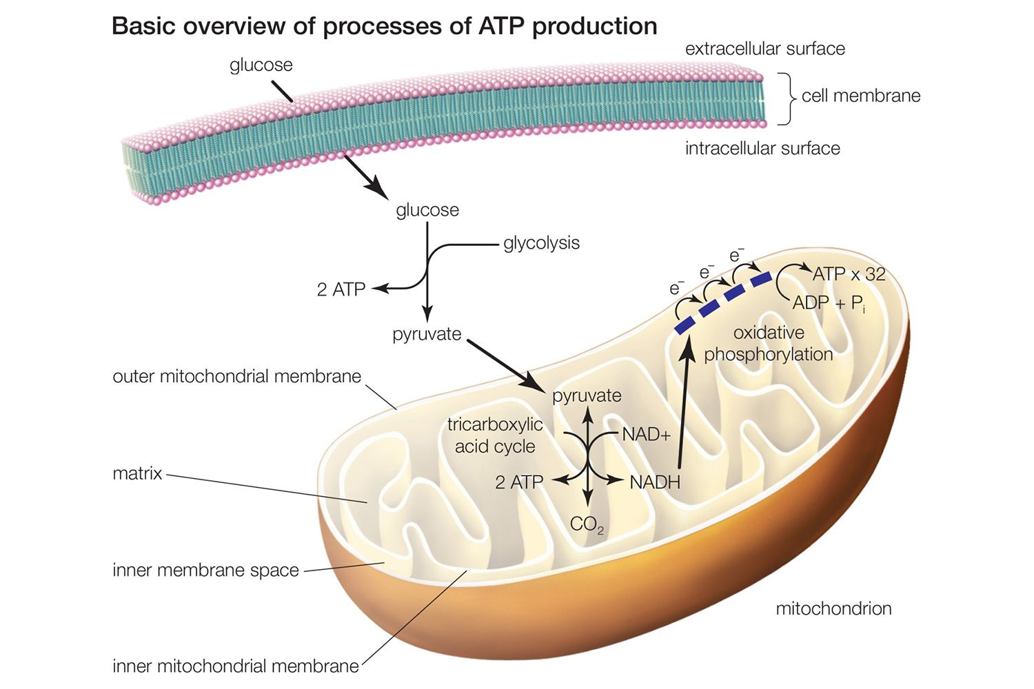 Learn About The 3 Main Stages Of Cellular Respiration
