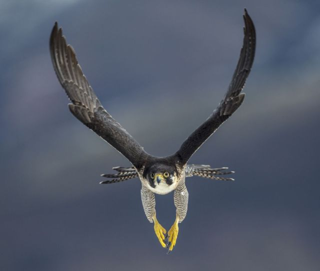 Fastest On The Planet The Absolute Fastest Animal On The Planet Is The Peregrine Falcon
