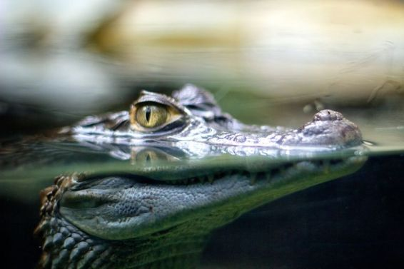 Image result for alligator underwater eyes