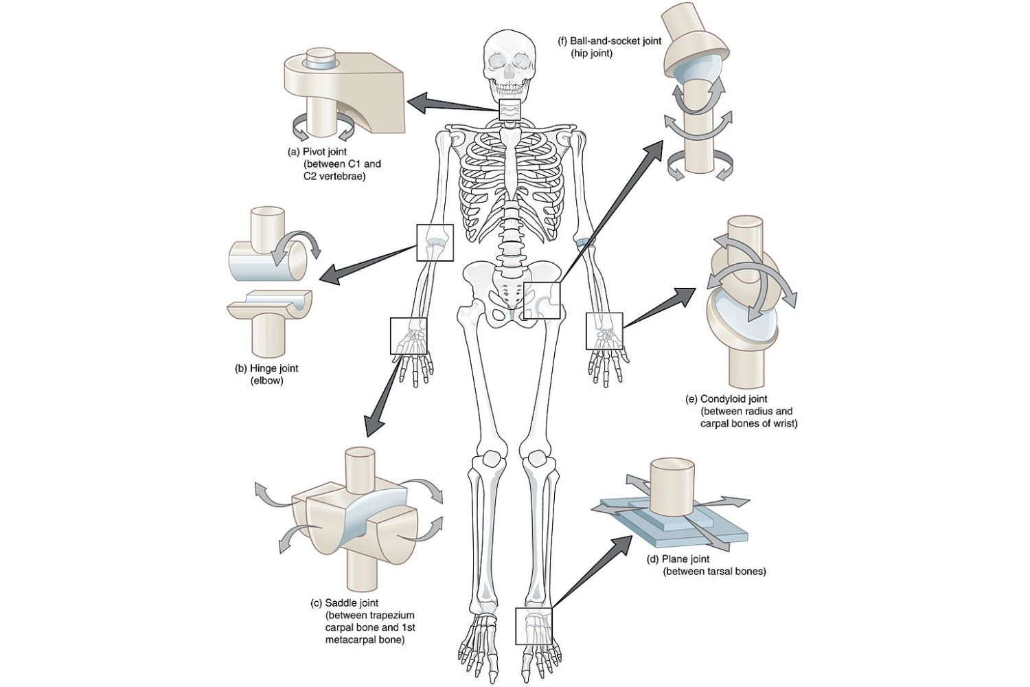 Synovial Joint Worksheet