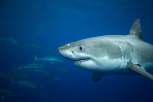 Grande Tubarão Branco (Carcharodon carcharias)