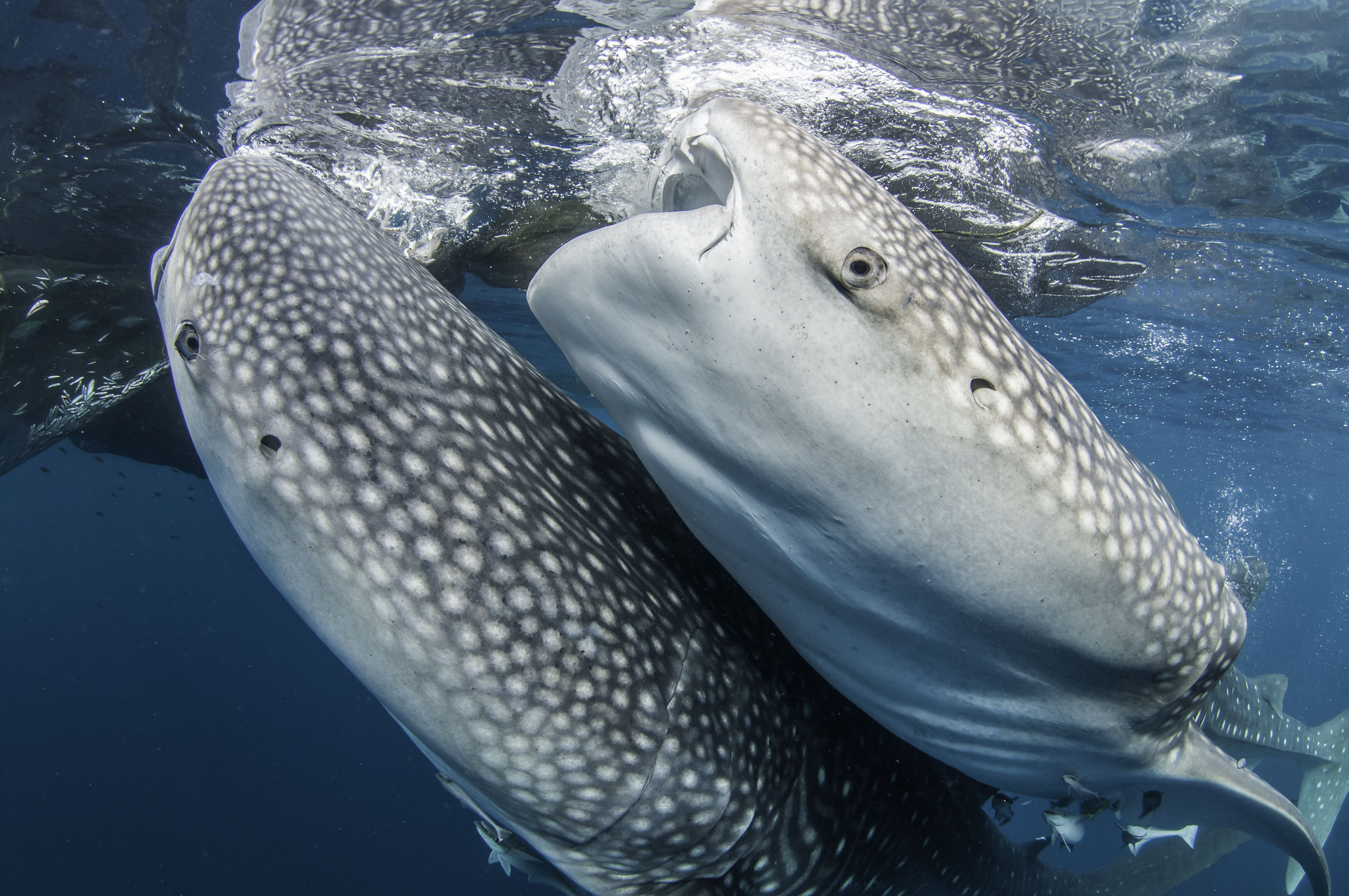 10 Fun Facts About Whale Sharks