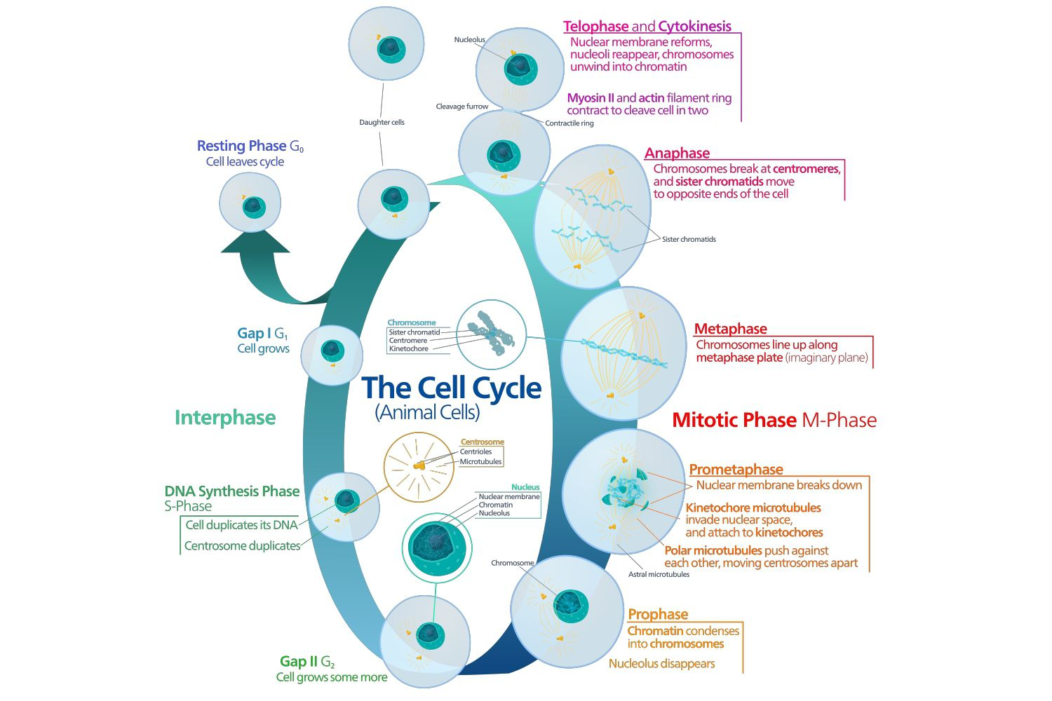 The Cell Cycle Of Growth And Replication