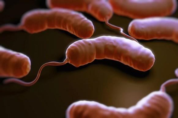 bactérias do vibrio cholerae