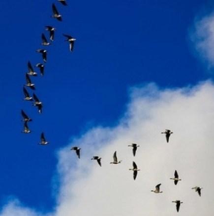 Goose Leading its Flock