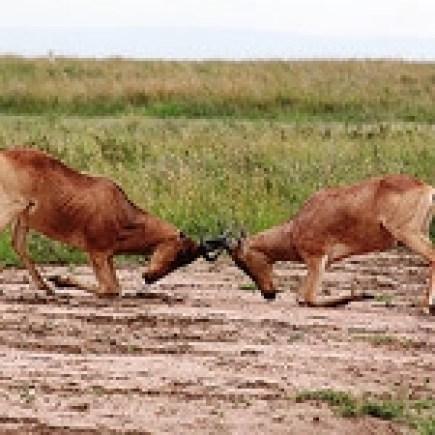 Herdbeast Locking Horns