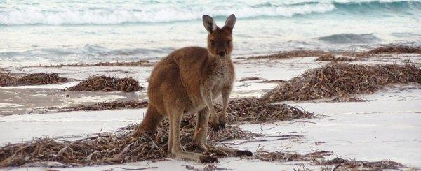 Kangaroo on Palm Beach, Australia