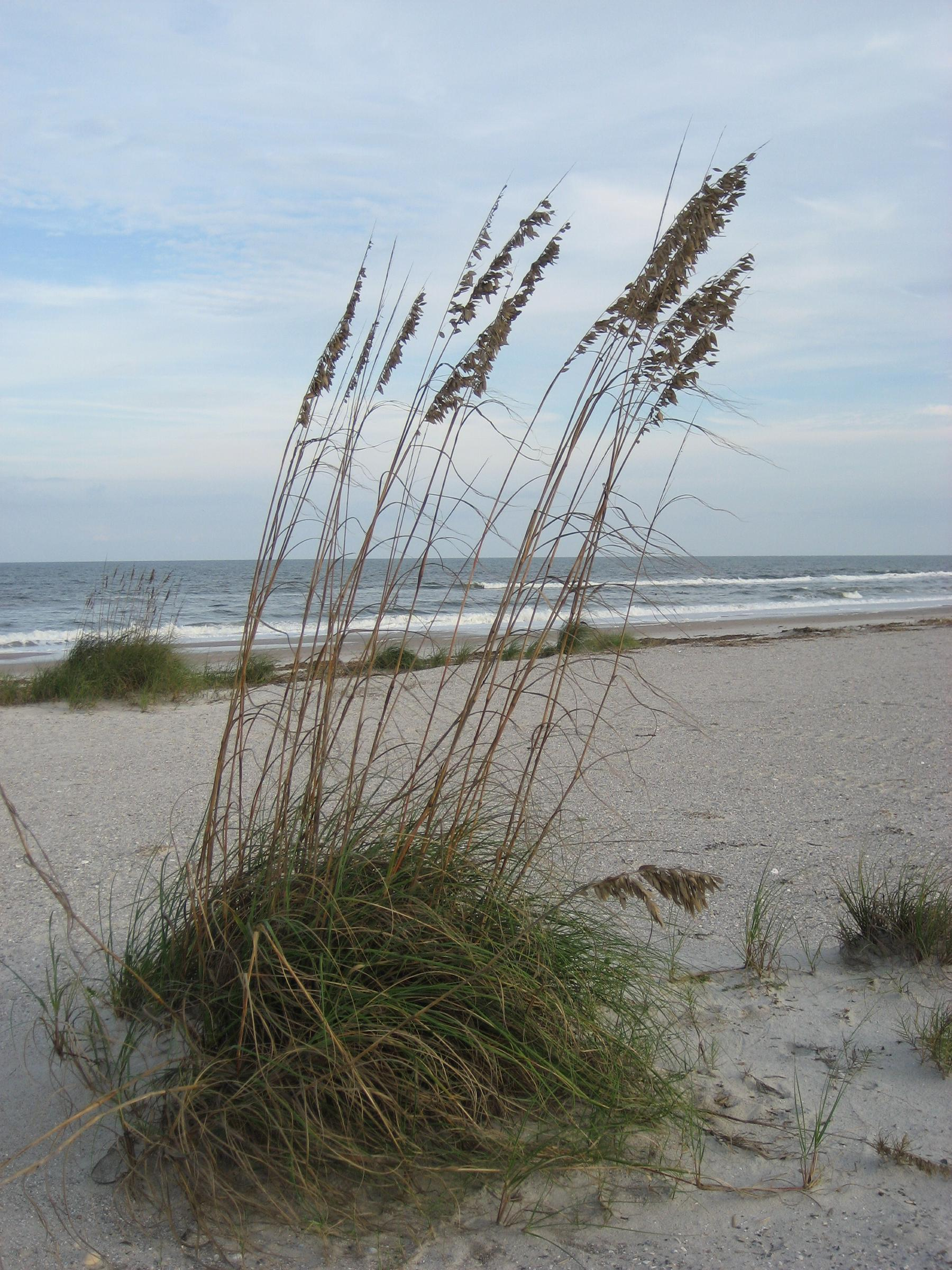 Sea Oats at Beach at Amelia Island Plantation