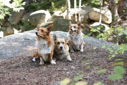 Three Corgis go glamping