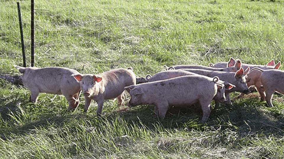 Bobcaygeon Farm - Pork