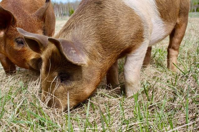 Kawartha Farm Fest - Berkshire Pigs - pasture-raised-pork- ThreeForksFarm - Bobcaygeon