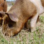 Kawartha Farm Fest - Berkshire Pigs - pasture-raised-pork- ThreeForksFarm - Bobcaygeon