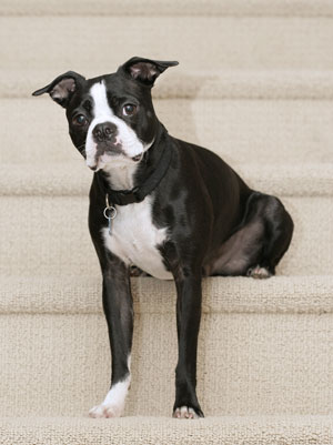 https://i2.wp.com/www.thriftyfun.com/images/petguides/Boston-Terrier300x401.jpg