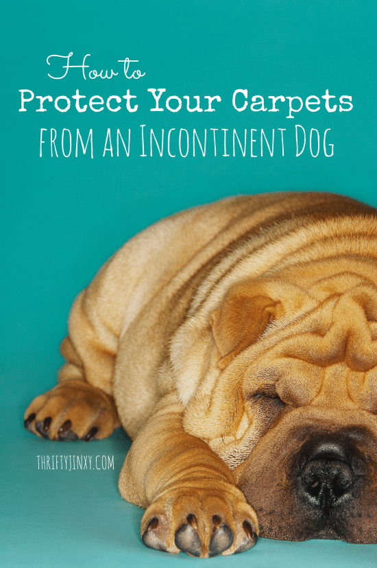Learn how to protect your carpets from an incontinent dog while keeping your pet comfortable.