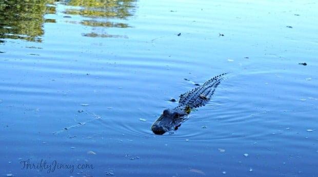 Alligator Louisiana Swamp Tour