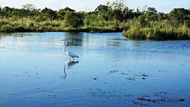 Egret Louisiana Swamp Tour