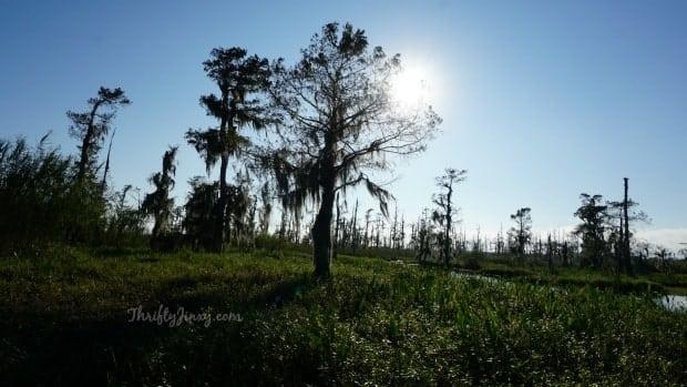 Louisiana Swamp Tour Cypress