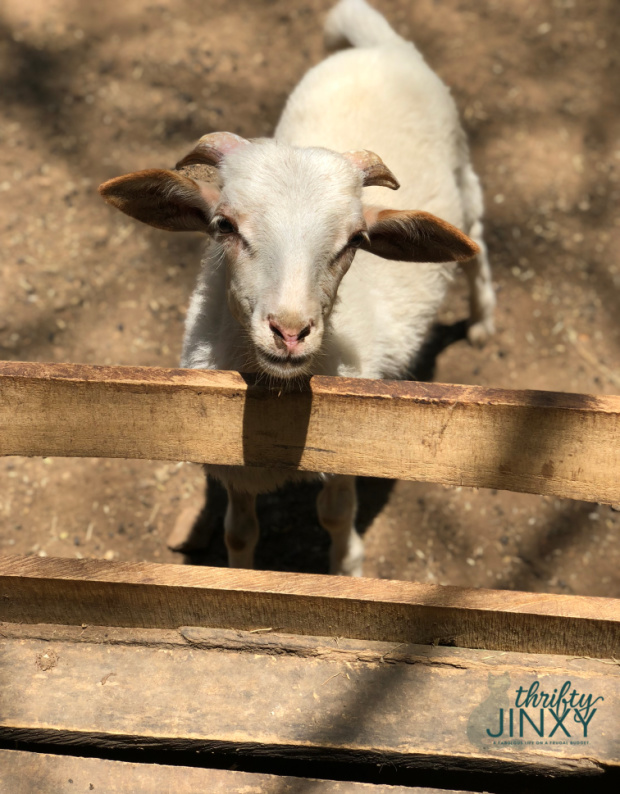 Congo Trail Animal Rescue Goat