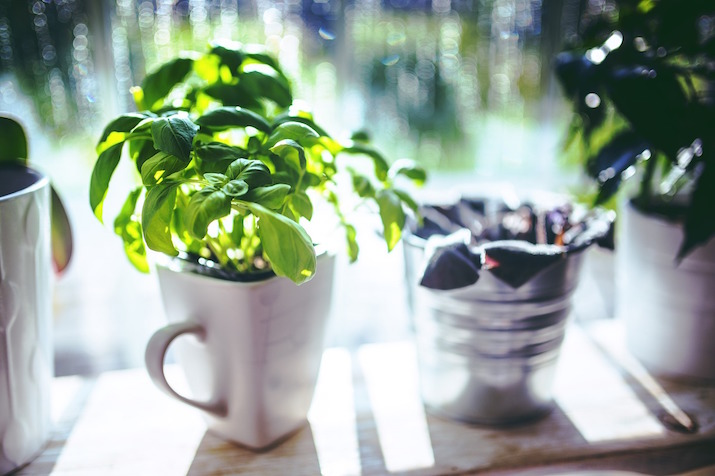 basil growing indoors