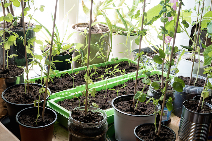 Growing Vegetables Indoors in Containers
