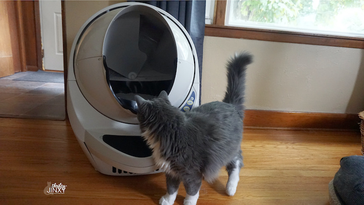 Litter Robot with Cat Looking Inside